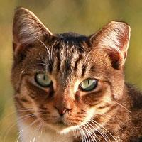 Notch In Cats Left Ear